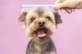 Dog Gets Hair Cut At Pet Spa Grooming Salon. Closeup Of Dog. The Dog Has A Haircut. Comb The Hair. P
