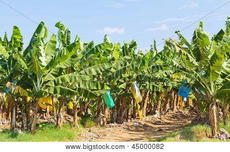 Banana field with protective bags on the fruit bunches, under the hot North Queensland tropical sun. poster