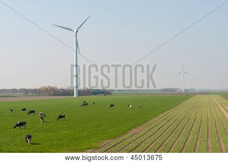 Milk cows grazing in a meadow with a windmill along a field of tulips in spring poster