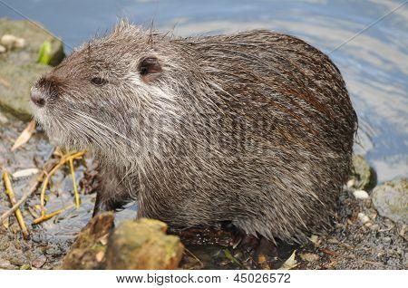European Beaver / Eurasian Beaver