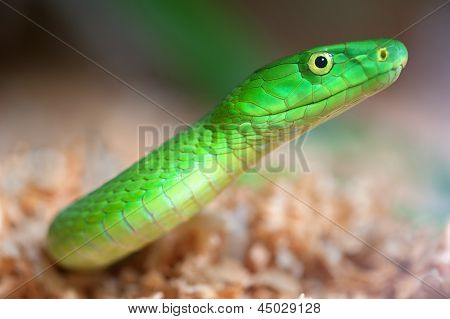 Alert Green Mamba