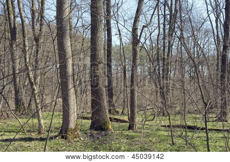 Oak-ash Wood In April
