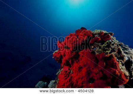 red boring sponge (pione cf. vastifica) taken in the red sea. poster