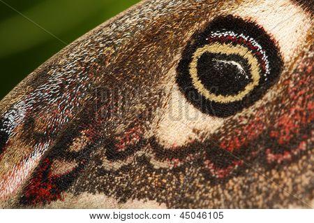 Eyespot of the Emperor Moth (Saturnia pavonia)