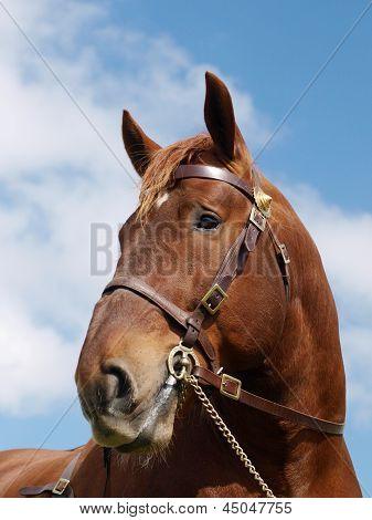 Stallion Head Shot