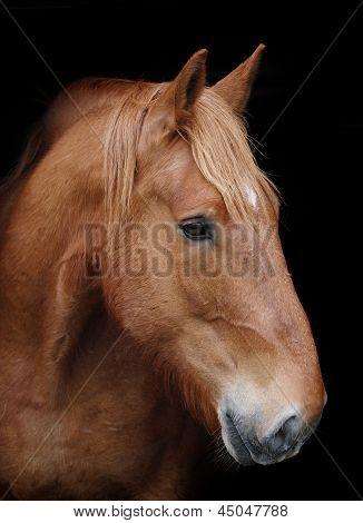 Horse Headshot Against Black