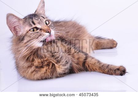 Beautiful Gray Mixed-breed Pregnant Cat Cleaning-up