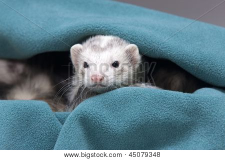 A white ferret peeks out from a green cloth. poster