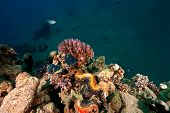 fluted giant clamp (tridacna squamosa)taken in the red sea. poster