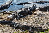 Alligator in Florida poster