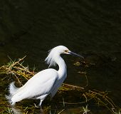 snowy egret in Everglades National Park, Florida. poster