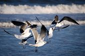 These sea gulls are frolicking in the surf. poster