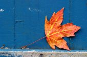 maple leaf with weathered rustic, painted background poster