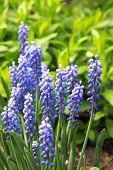 Flowering Grape hyacinth (Muscari armeniacum) in spring poster