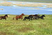horses on the meadow  summer or spring landscape poster