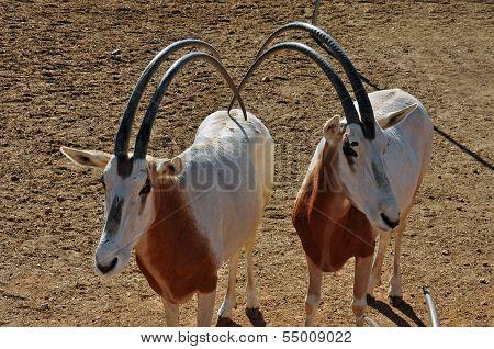 Two Scimitar Horned Oryx Antelopes