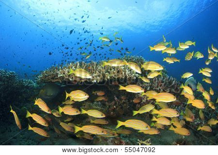 School of Bluelined Snapper fish on tropical coral reef underwater
