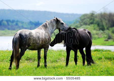 Couple Beautiful Wild Horses In Love On The Meadow