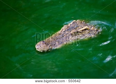 Crocodile In The Swamp