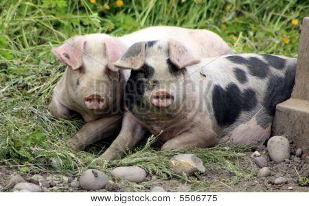 Pigs In A Sty