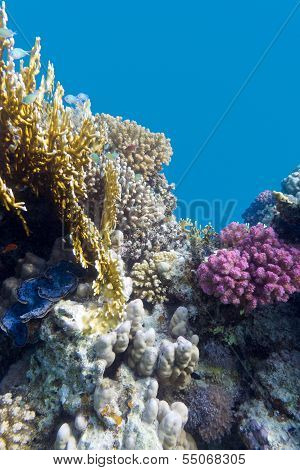 coral reef with violet hard corals poccillopora at the bottom of tropical sea on blue water backgrou