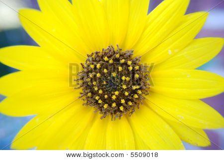 Gorgeous Yellow Sunflower