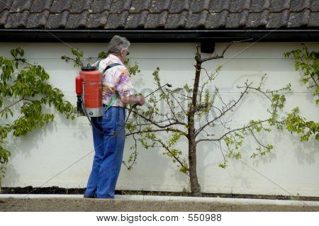 Spraying The Fruit