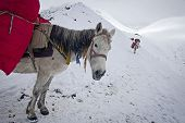 Caravan of mules for delivery in Nepal Annapurna Conservation Area Himalayas poster