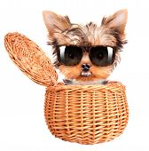happy yorkie toy with sun glasses standing in a little basket over white poster