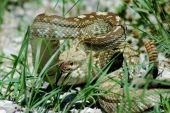 Shot of a timber rattlesnake taken in New Mexico poster