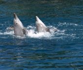 two dolphins swimming and playing in blue water poster