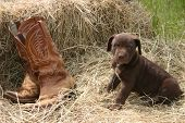 brown labrador retreiver sitting ontop of hay next to a pair of leather booat poster