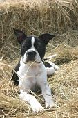 boston terrior laying down on top of hay poster
