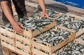 mediterranean sardines: fisherman making stack of crates full of freshly caught oily fish poster