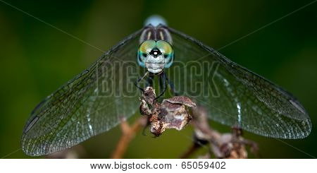 Dashing Blue Dasher