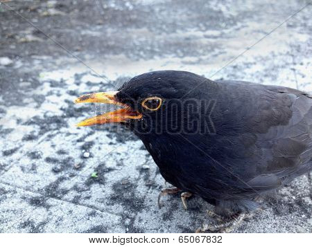 Blackbird Wounded
