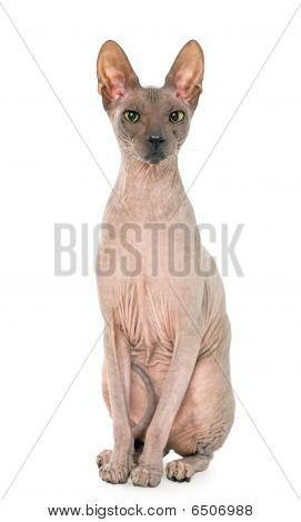 Don Sphynx On Isolated White