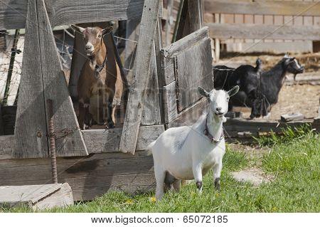 Two Goats Posing.