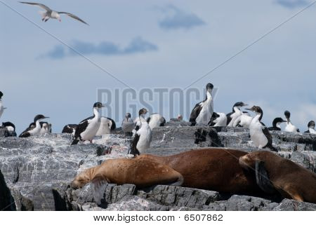 Colony Of South American Sea Lion And Cormorants