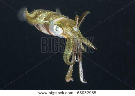 Squid underwater at night