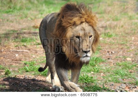 Male Lion Stalking