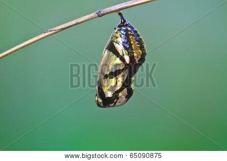 A beautiful Monarch chrysalis hanging on branch