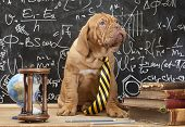 Young cute puppy in front of blackboard during a math class. Dogue de Bordeaux (French mastiff). poster