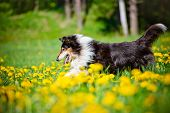 black rough collie dog outdoors in summer poster