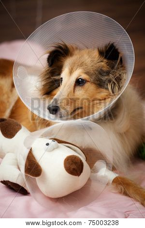 Sheltie recovering from surgery with her toy