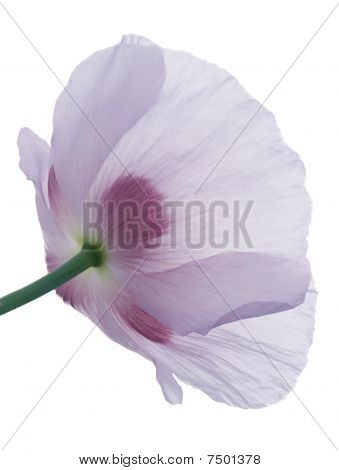Studio Shot of Poppy Isolated on White Background. Large Depth of Field poster
