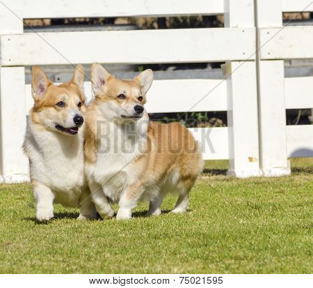 Two young healthy beautiful red sable and white Welsh Corgi Pembroke dogs with a docked tail walking on the grass happily. The Welsh Corgi has short legs long body big erect ears and is a herding breed. poster