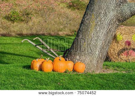 Pumpkins Beside Tree And Old Hand Tiller