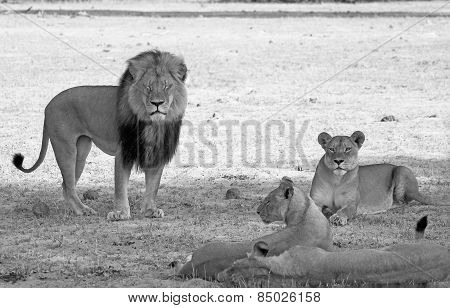 Pride of Lions on the plains in black & white
