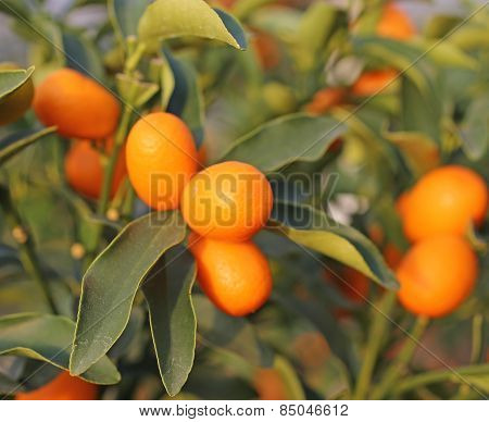 Kumquat Fruit On The Tree In The Orchard